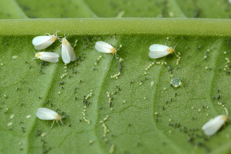 Common Whitefly