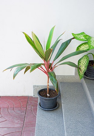 Cordyline in a pot