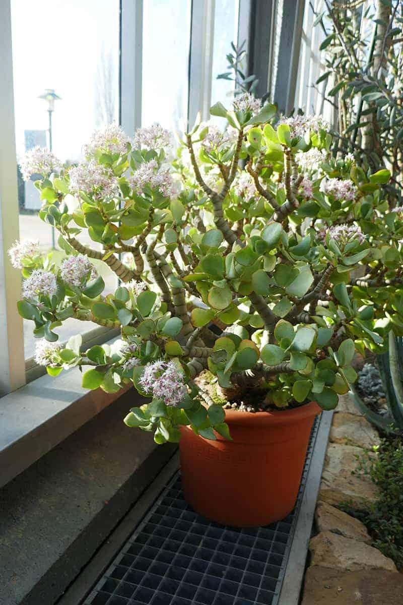 Jade Plants For Sale Trees Com