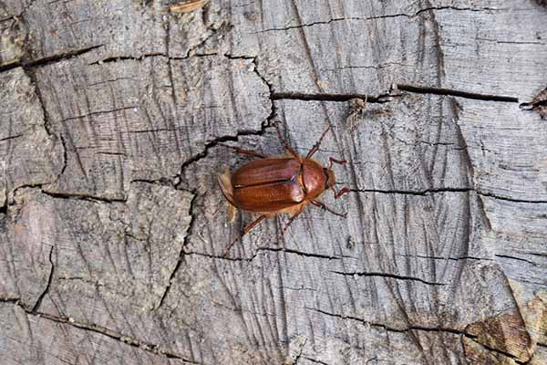 European Chafer bug on the ground