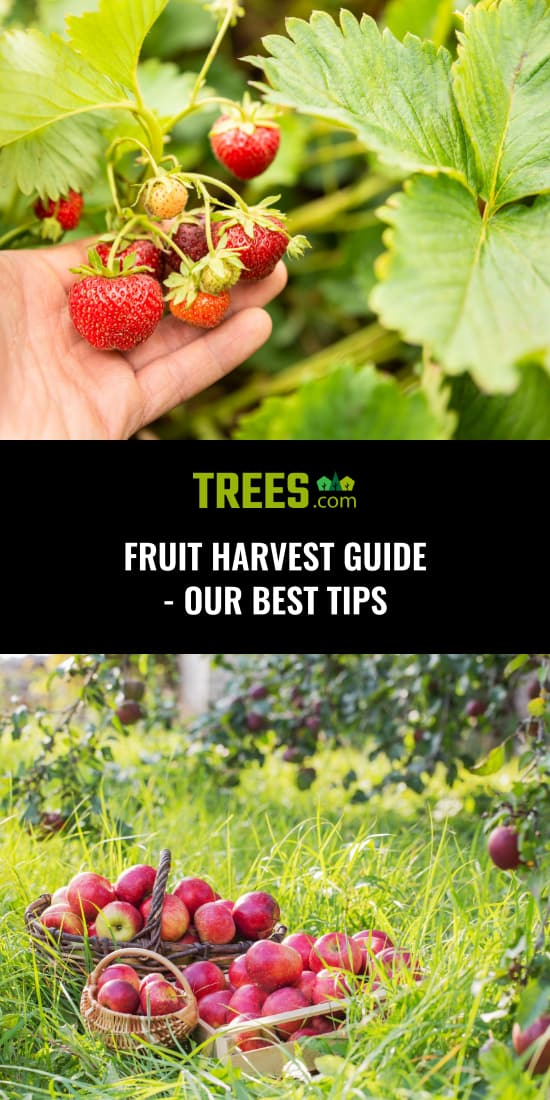Fruit Harvest Guide - Our Best Tips