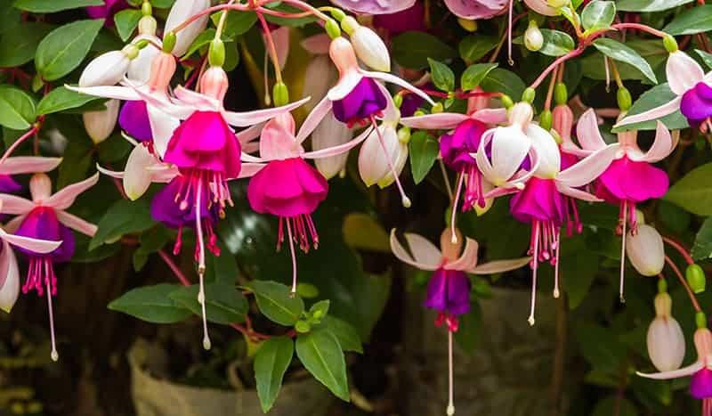 Fuchsia-flowers-in-vintage-garden.jpg