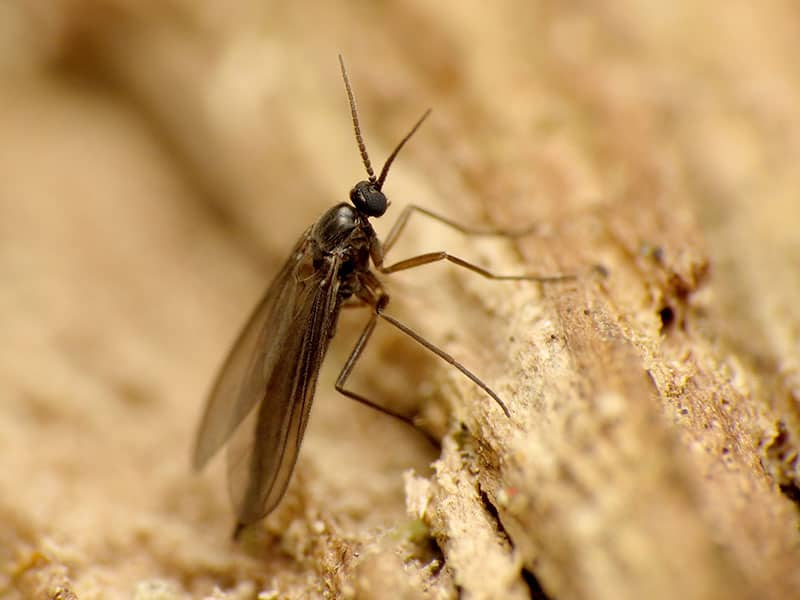 Fungus Gnats close-up