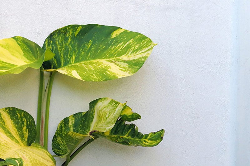 Common problems of the golden pothos