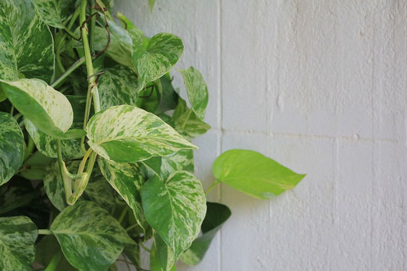Golden Pothos on white wall