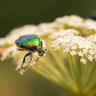 Green June beetle sitting on a leaf yarrow
