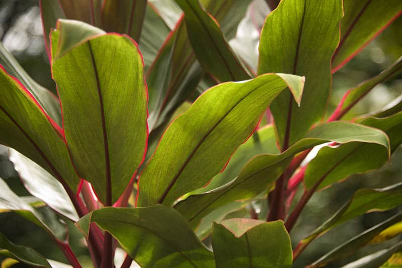 Hawaiian Ti Plant leaves close up