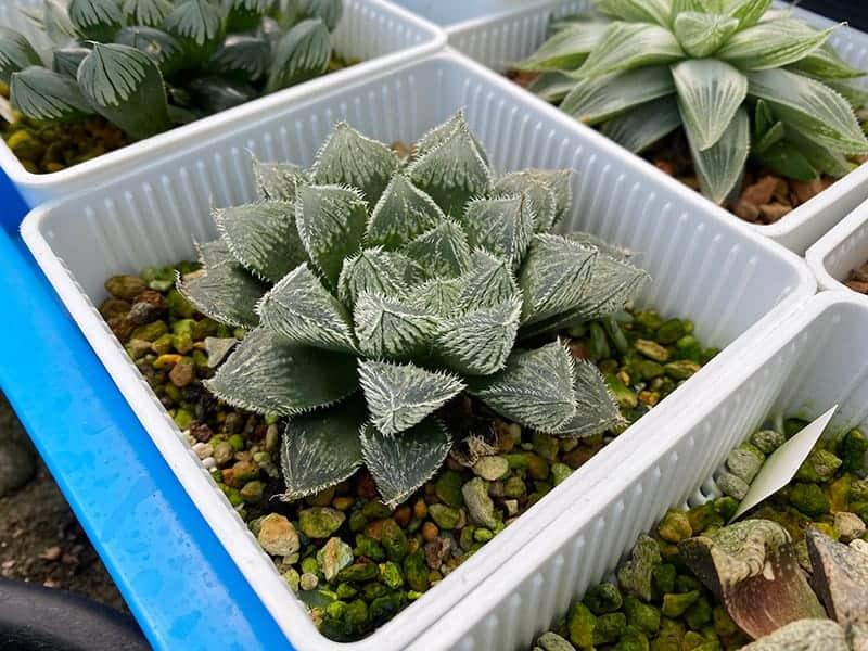 Haworthia Plants For Sale Trees Com