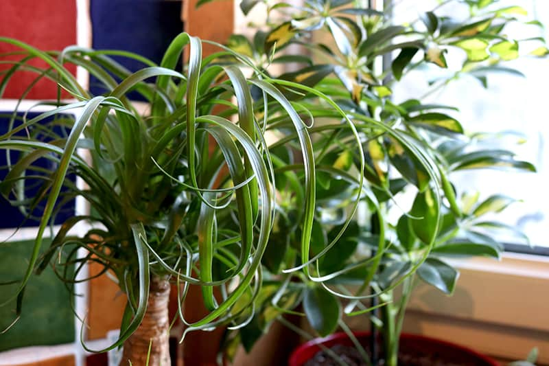 Indoor house plant Ponytail Palms
