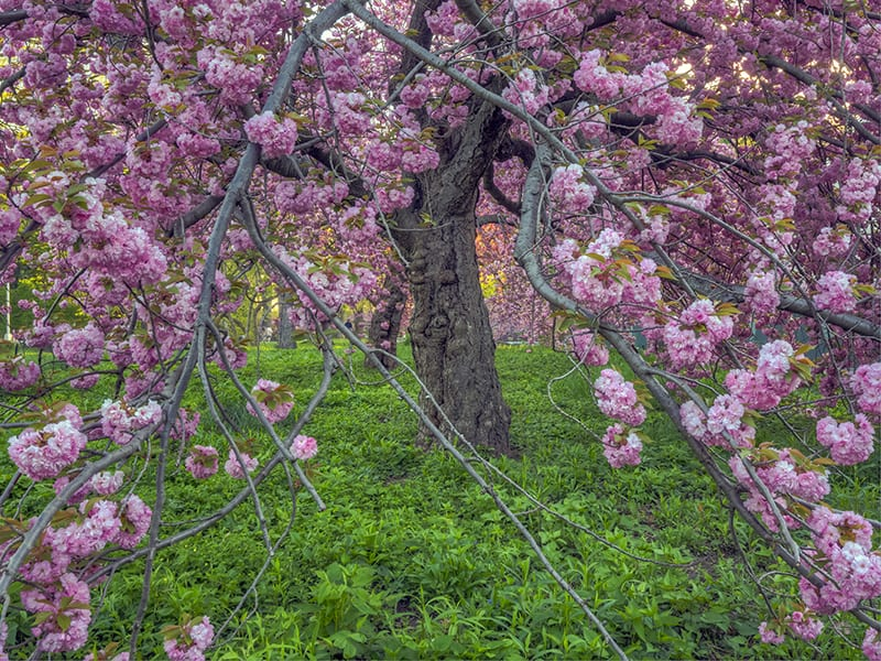 Kwanzan Cherry Tree A Beginner S Care Growing Guide Trees Com