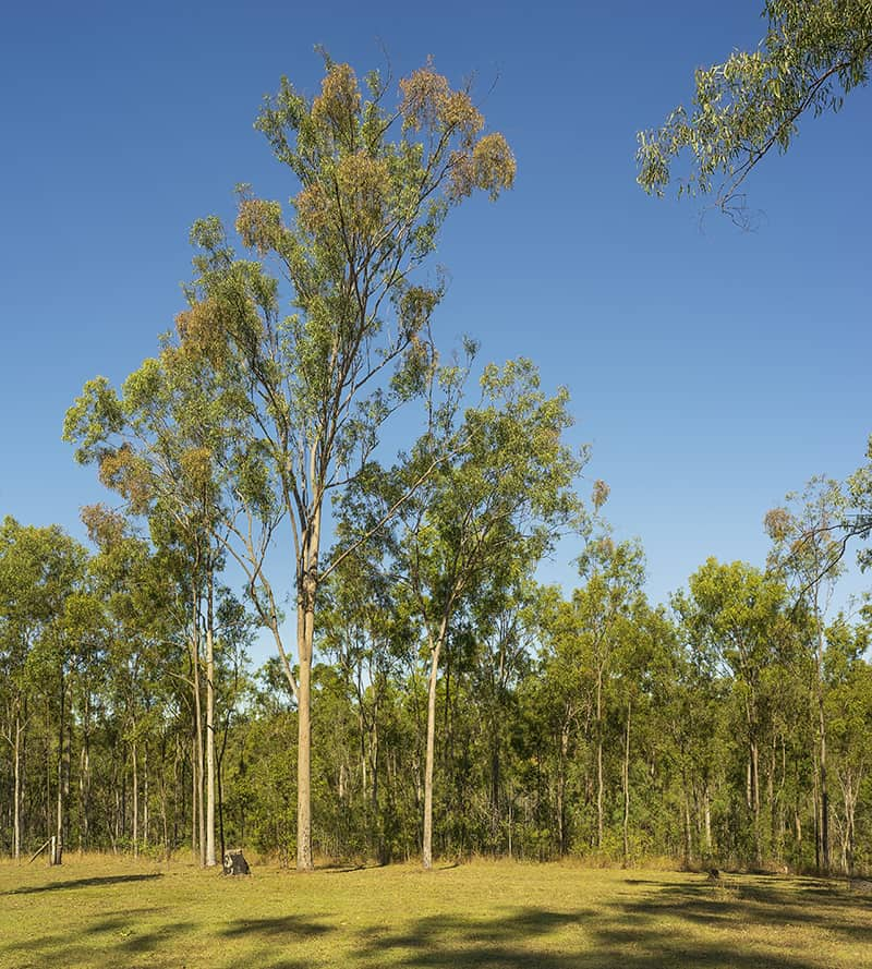 Lemon-Scented Gum