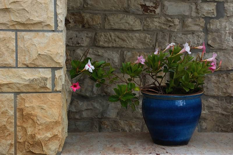 Mandevilla in a blue flower pot
