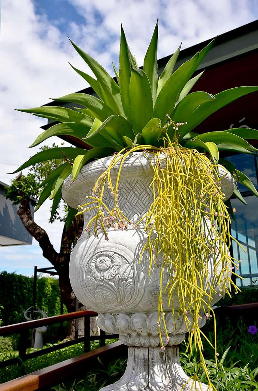 Mistletoe Cactus