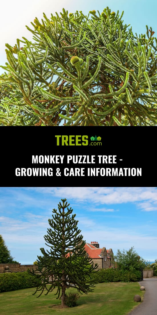Monkey Puzzle Tree - Growing & Care Information