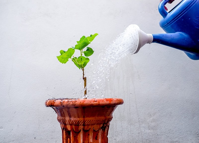 Mulberry watering