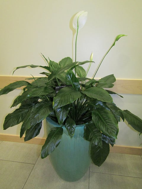 Peace Lily (Spathiphyllum) Guide - Tips For Growing, Care ... on peace lily problems white residue, peace lily plant brown leaves, jade house plant problems, begonia house plant problems, peace lily indoor plant, gardenia house plant problems, peace lily plant care of,