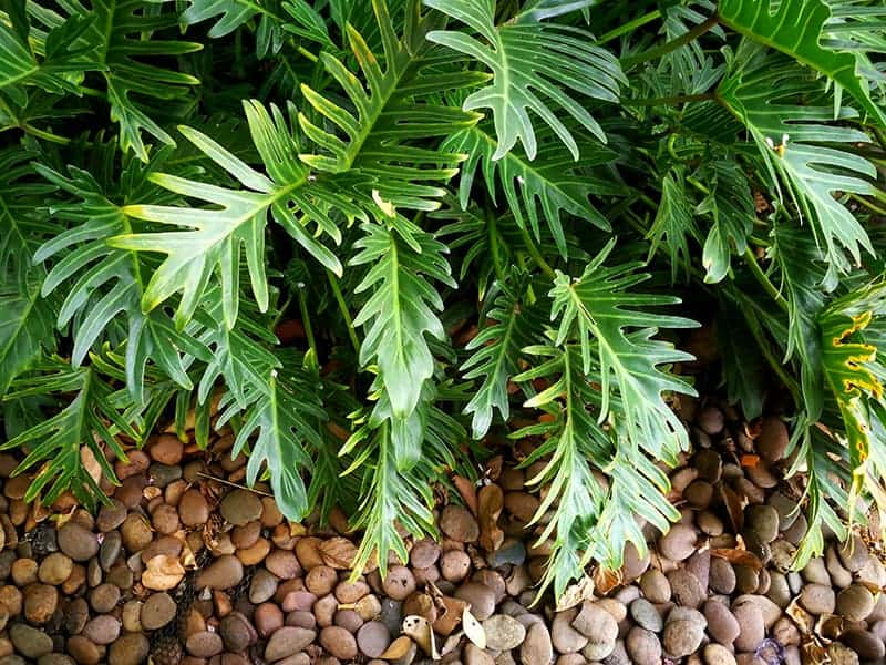 A Beginner's to Growing and Caring For Philodendron Xanadu ... on tamarind plant, ruellia plant, society garlic plant, dangerous plant, arboricola plant, china doll plant, limelight plant, physical plant, podocarpus plant, croton plant, care for calathea plant, life cycle of a plant, sansevieria plant, bulbine plant, time plant, ixora plant, titan plant, bird of paradise plant, medium shrubs plant,