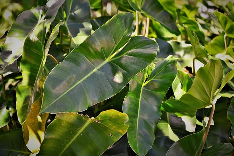 A Beginner's to Growing and Caring For Philodendron Xanadu