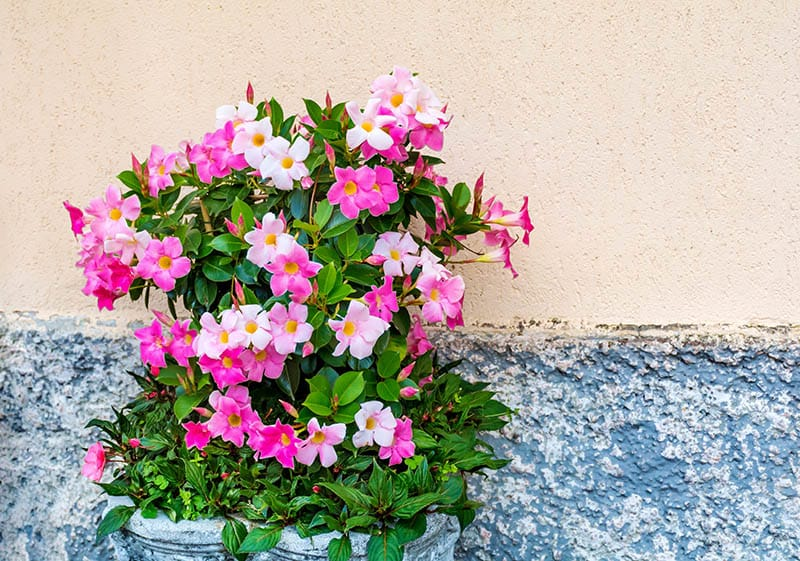 Pink Mandevilla, Rocktrumpet Flowers in a Stone Pot on the Street