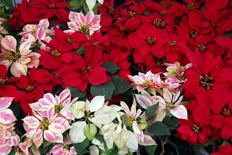 Poinsettia flower blooming