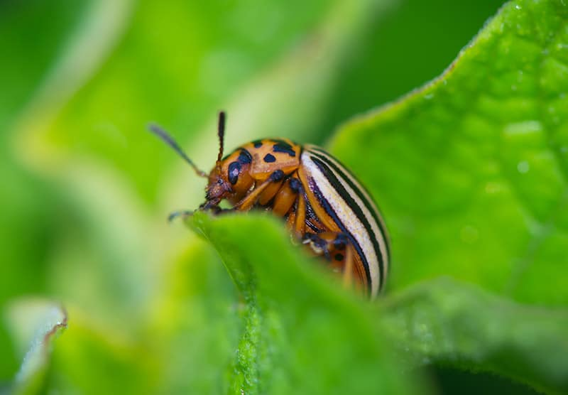Potato Beetle resting on the leaves of potatoes