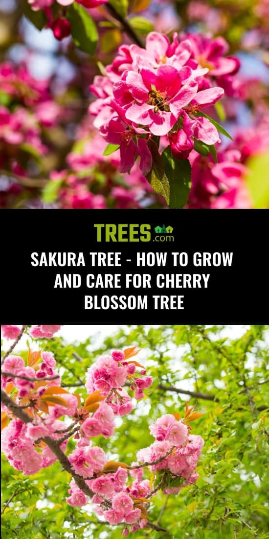 Sakura Tree - How to Grow and Care For Cherry Blossom Tree