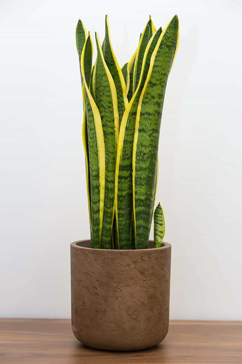 Snake Plant (Sansevieria trifasciata) - Types, Care, And