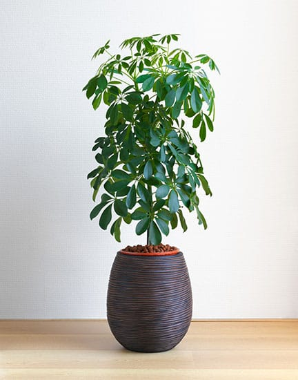 Schefflera Arboricola Compacta houseplant on light wooden floor in front nof white wall