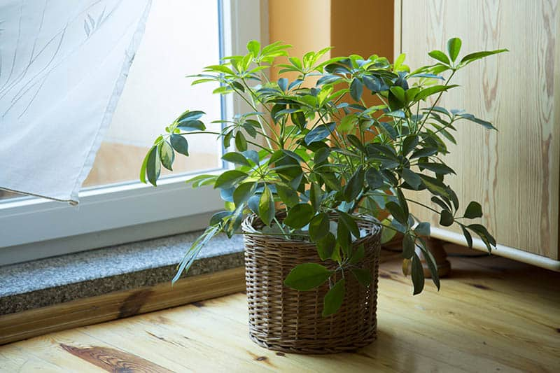 Schefflera plant in pot beside the window sill