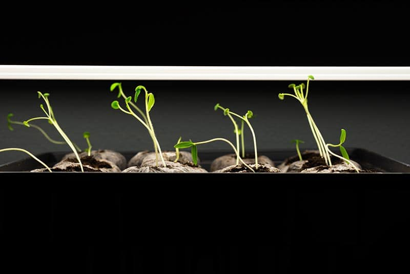 Seedlings under T5 grow lights