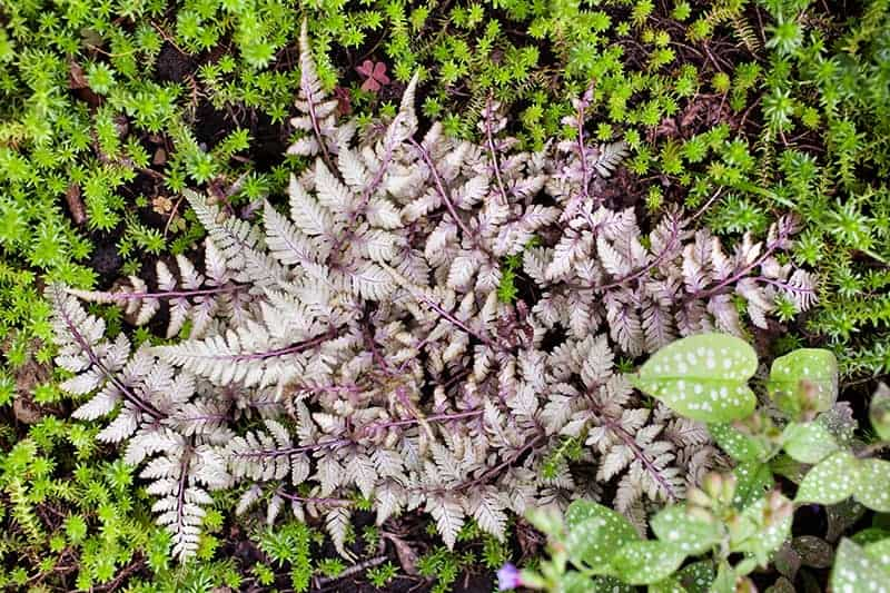Silver Falls Japanese Painted Fern