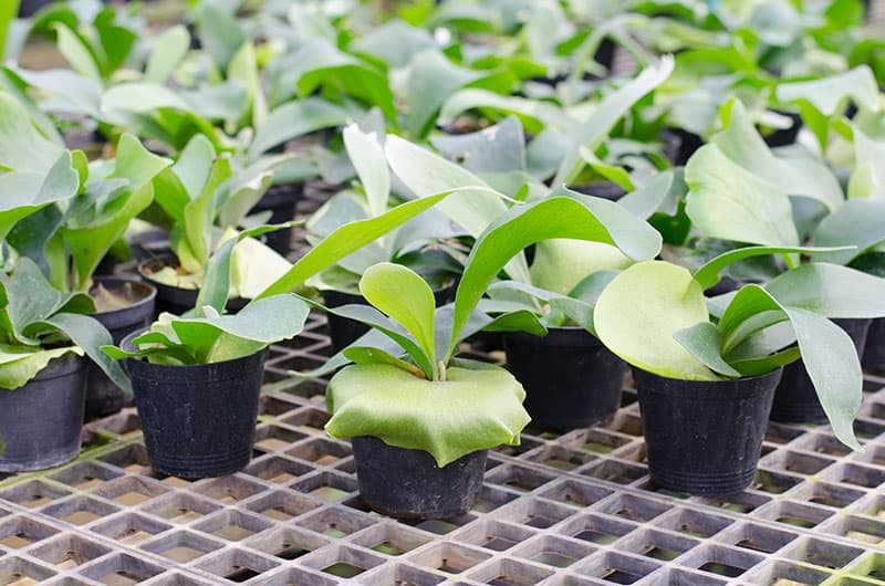 Staghorn Fern caring tips