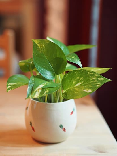 The Golden Pothos can withstand any lighting conditions and will even live through total darkness