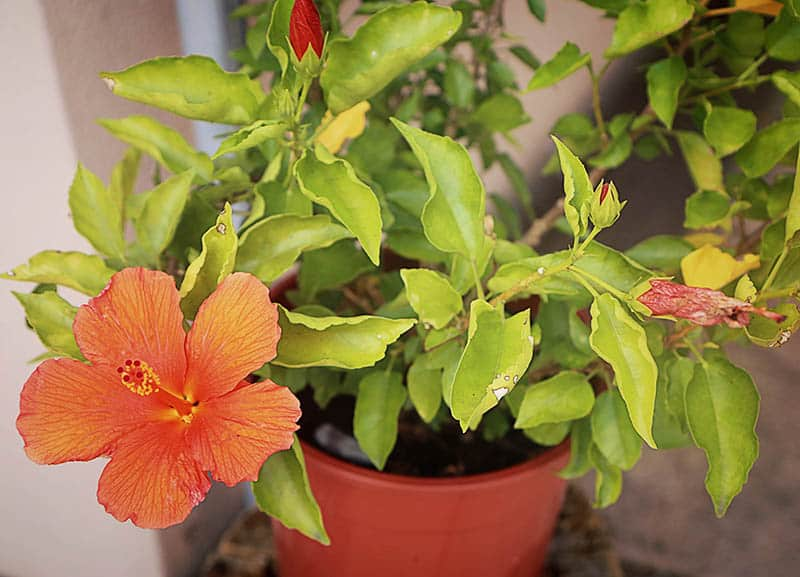Hibiscus Tree Care Tips On Growing The Hibiscus Green And Vibrant