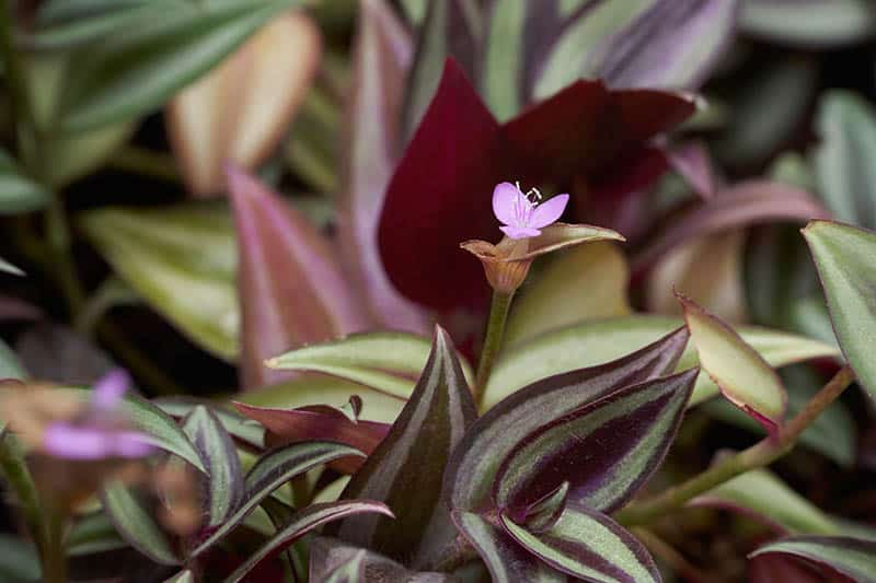 Tradescantia zebrina light purple flower