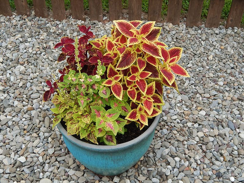 Variety of coleus plants in a green pot