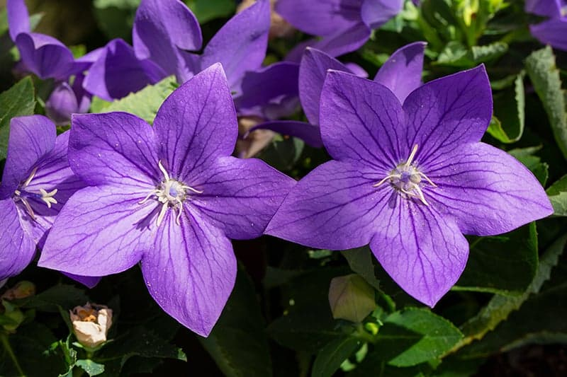 Balloon Flowers – All You Need to Know