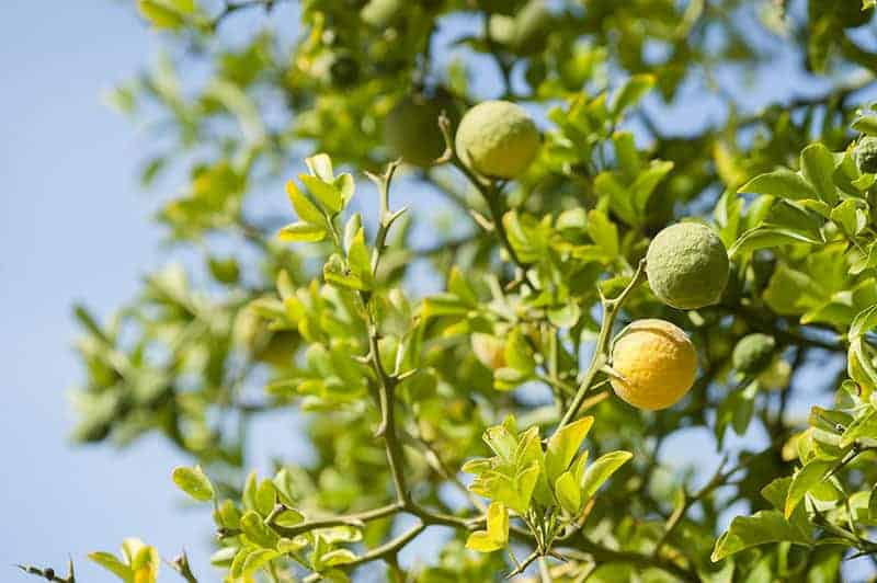 Bergamot Orange Tree (Citrus bergamia Risso)