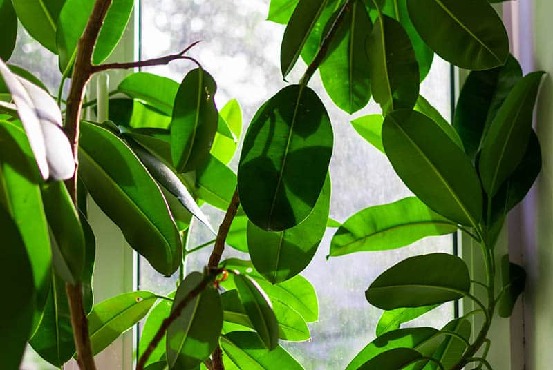 A Rubber plant enjoys lots of light by the windowsill