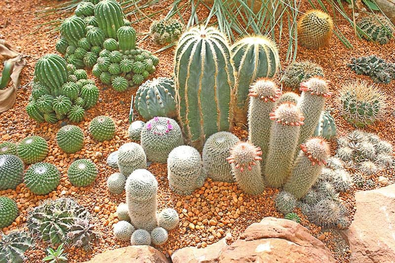 Cacti in the Desert