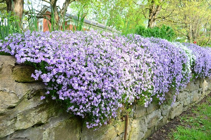 11 Best Evergreen Ground Cover Plants, Fast Growing Perennial Ground Cover For Full Sun