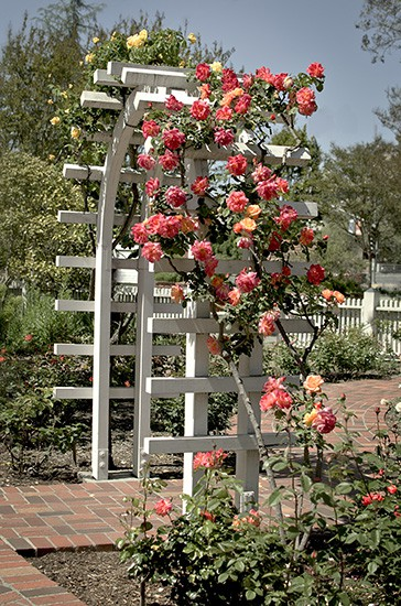 Arched White Trellis/Arbor with Roses