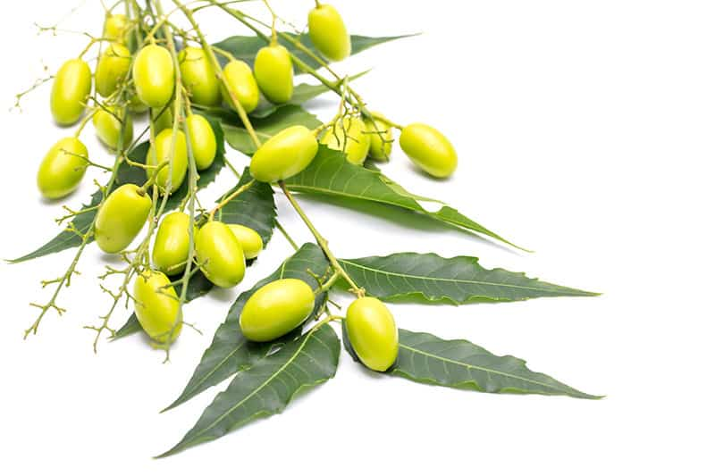 Neem Seeds with leaves