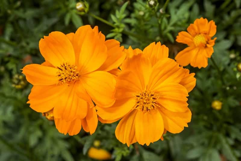 Top 15 Amazing Orange Flowers With Pictures Green And Vibrant