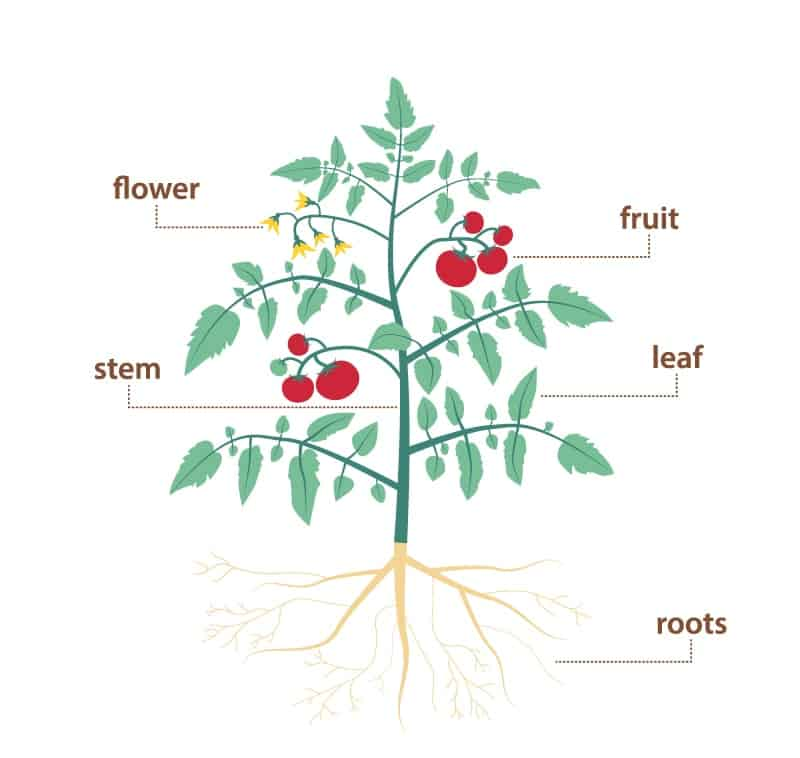 Parts Of A Plant And Their Functions  With Diagram