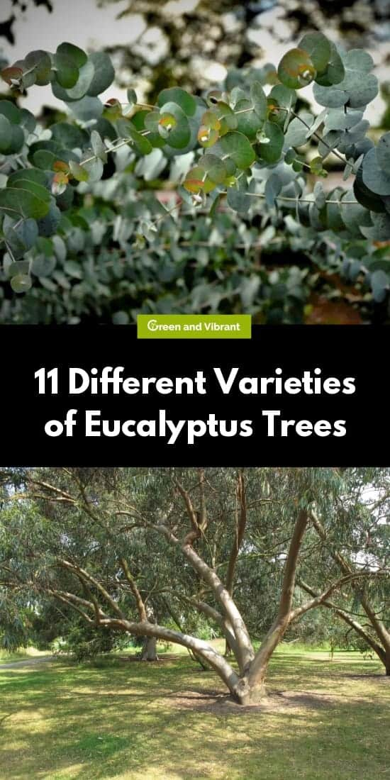 11 Different Varieties of Eucalyptus Trees