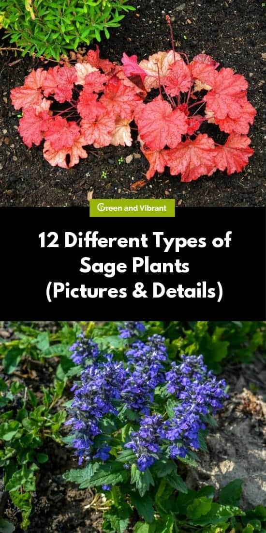 12 Different Types of Sage Plants (Pictures & Details)