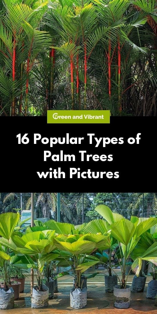 16 Popular Types of Palm Trees with Pictures