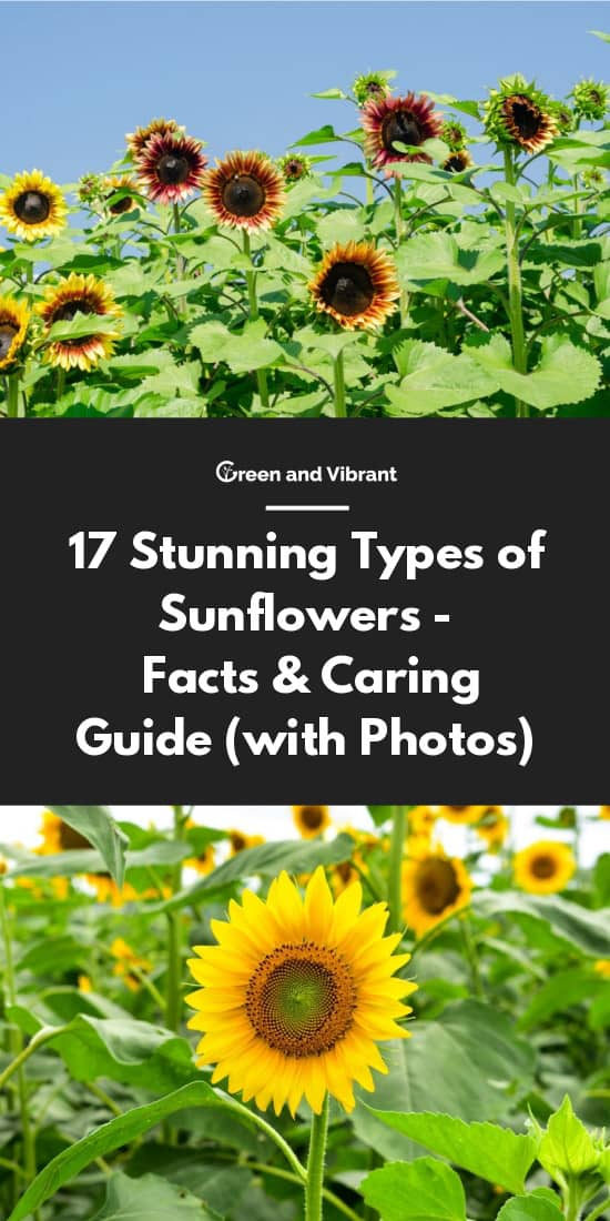 17 Stunning Types of Sunflowers - Facts & Caring Guide (with Photos)