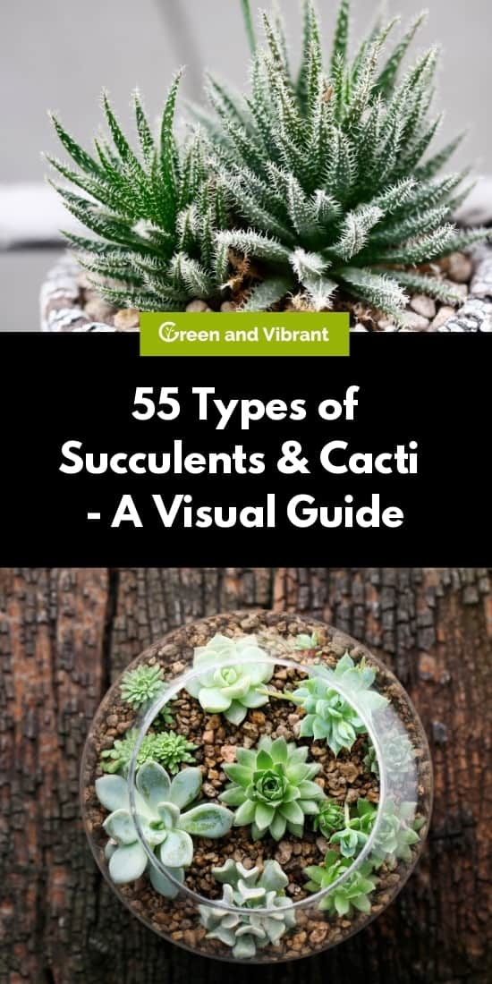 55 Types Of Succulents Cacti Growing Tips And Photos Green